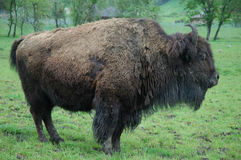 Bull Buffalo Stock Photo