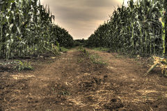 Corn field and cloudy sky. Corn field with beautiful cloudy sky Royalty Free Stock Photo