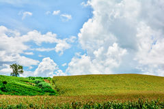 Corn field cloudy sky. Landscape shot of a Corn field with background of cloudy sky Stock Image