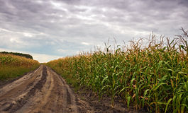 The corn field Royalty Free Stock Photos