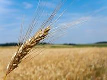 Corn field corn with barley Royalty Free Stock Image