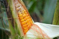 Corn in field, corn cob Stock Photos
