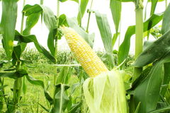 Corn field with corn ear Stock Images
