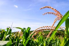 Corn field. Maize flowers with blue sky background Stock Photo