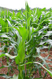 Corn field with Corn green growing Stock Photos