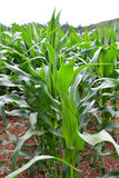 Corn field with Corn green growing Royalty Free Stock Image