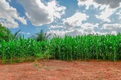 Corn field with Corn green growing Stock Photography