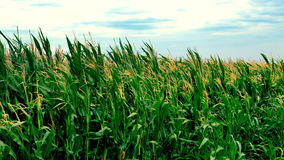 Corn field with corn plants moving in the wind stock video footage