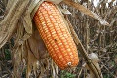Corn field Stock Photography