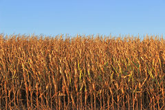 Corn Field. A cornfield ready for harvest stock photos