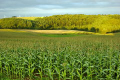Corn field in the country side Royalty Free Stock Photography