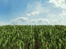 Corn Field. 3d illustration of a corn field Royalty Free Stock Image