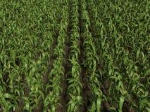 Corn Field. 3d illustration of a corn field Stock Photos