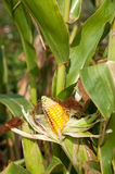Corn field damaged by severe. Extended drought and diseases of plants Stock Images