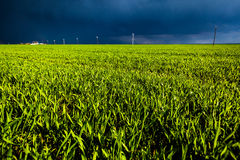 Corn field with dark skies Royalty Free Stock Photography