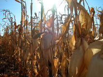 Corn Field Daylight. Harvest ready corn field in the late afternoon sun stock photo
