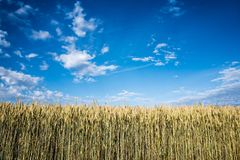 Corn Field at Daytime Royalty Free Stock Photography