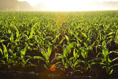 Corn Field during Daytime Royalty Free Stock Photography