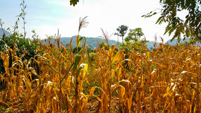 Corn field. In daytime Royalty Free Stock Photo