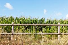 Corn Field Detail Royalty Free Stock Images
