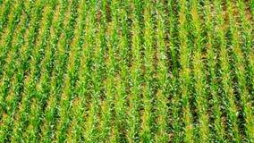 Corn field detail Stock Photos
