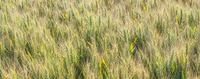 Corn field in detail Stock Photography
