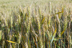 Corn field in detail Royalty Free Stock Image