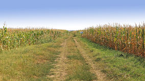 Corn Field. With Dirt Road in Vojvodina Serbia Royalty Free Stock Image