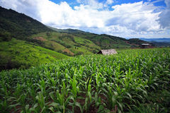 Corn field on Doi Inthanon, Highest mountain in Thailand Royalty Free Stock Images