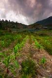 Corn field with dramatic clouds at Kundasang, Sabah, East Malaysia Royalty Free Stock Image