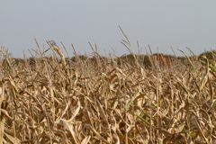 Corn on a field during a draught Royalty Free Stock Images
