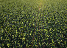 Corn field from drone point of view. Cultivated maize crops Stock Photo