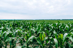 Corn field. drought Royalty Free Stock Image