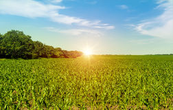 Corn field in early morning light. Royalty Free Stock Photography