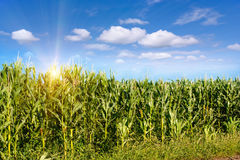 Corn field in early morning light. Royalty Free Stock Photo