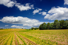 Corn Field in Early Summer Royalty Free Stock Photos
