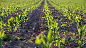 Corn field in early summer Stock Photography