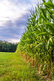 Corn field edge Royalty Free Stock Photo
