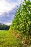 Corn field edge. Beautiful view of corn field edge with dramatic sky Royalty Free Stock Photo