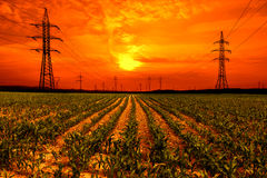 Corn field with electricity pylon at sunset Stock Photography