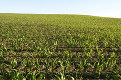 Corn Field in the evening light. Royalty Free Stock Photography