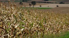Corn field in fall stock footage