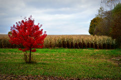 Corn Field, Fall Colors Royalty Free Stock Photography