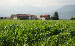 Corn Field and Farm 1. A field of corn growing in the Italian region of Friuli – a big producer of corn, but mainly for polenta rather than sweetcorn. There is Royalty Free Stock Photography