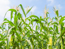 Corn field, farm corn. Growth corn Royalty Free Stock Photography