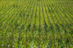 Corn field on farm. Green field of corn growing on a farm. farming agriculture of corn. rows of corn Stock Photo