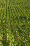 Corn field on farm. Green field of corn growing on a farm. farming agriculture of corn. rows of corn Stock Photography