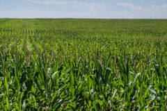 Corn field on farm. Green field of corn growing on a farm. farming agriculture of corn. rows of corn Stock Photos