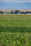 Corn field on farm. Green field of corn growing on a farm. farming agriculture of corn. rows of corn Royalty Free Stock Image