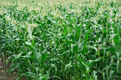 Corn field in the farm Royalty Free Stock Photo